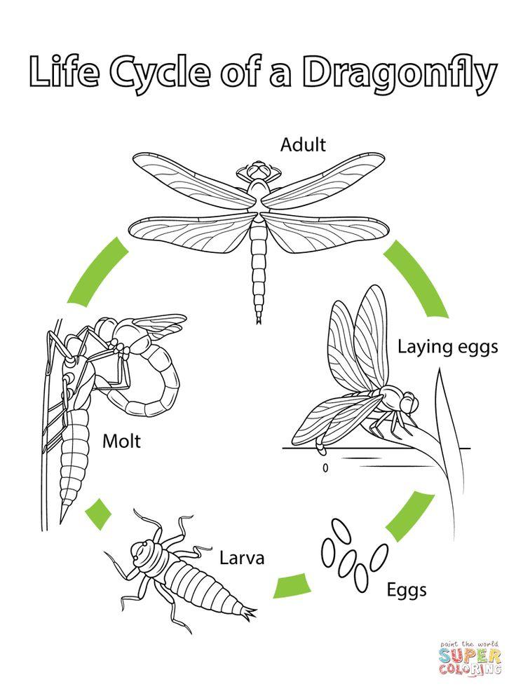 Life cycles, Dragonfly life cycle, Life cycles preschool