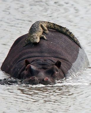 hippo and croc...combined, they kill more people than anything else in Africa, with the hippo winning in the dangerous category.