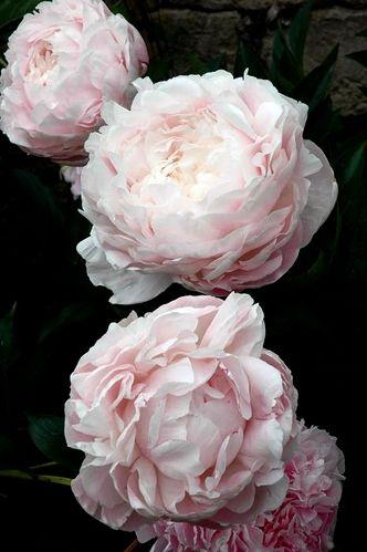 Les 25 meilleures id es de la cat gorie fleurs sur Fleurs pivoines