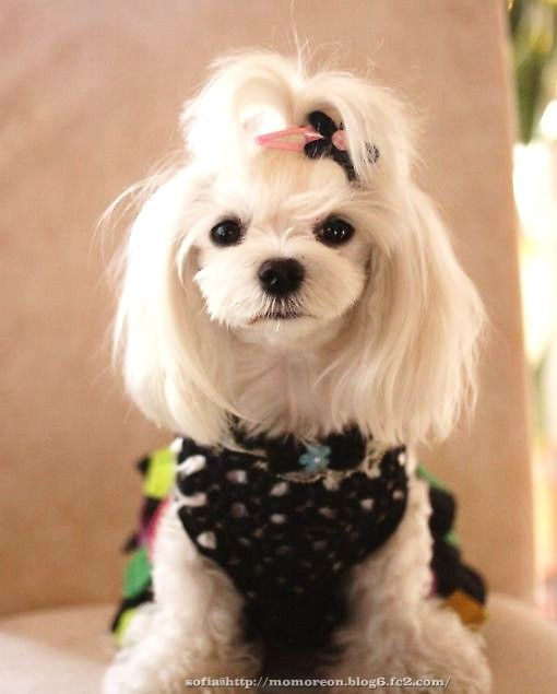 cute maltese haircuts 37 best images about penelope may on summer 4082 | 517fa772daa1a8a227a1c6e282ad8615
