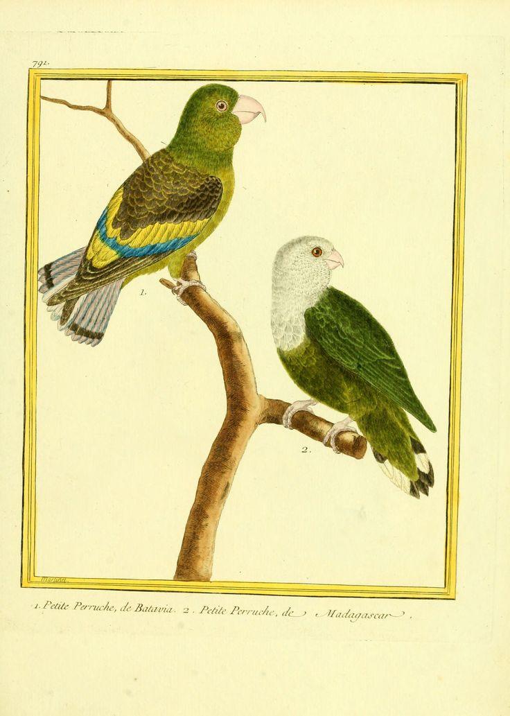 Gravures oiseaux Buffon 791 - petite perruche de batavia