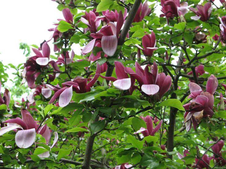 magnolia lilliflora