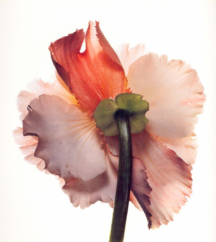 Photographed by Irving Penn.: Pink Flowers, Inspiration, Art Photography, Colors, Watercolor Flowers, Irvingpenn, Bloom, Irving Penn, Fashion Photography