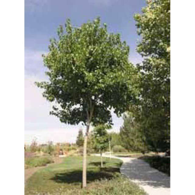 Morus alba 'Fruitless' / Weißer Maulbeerbaum 'Fruitless' - Baumschule NewGarden