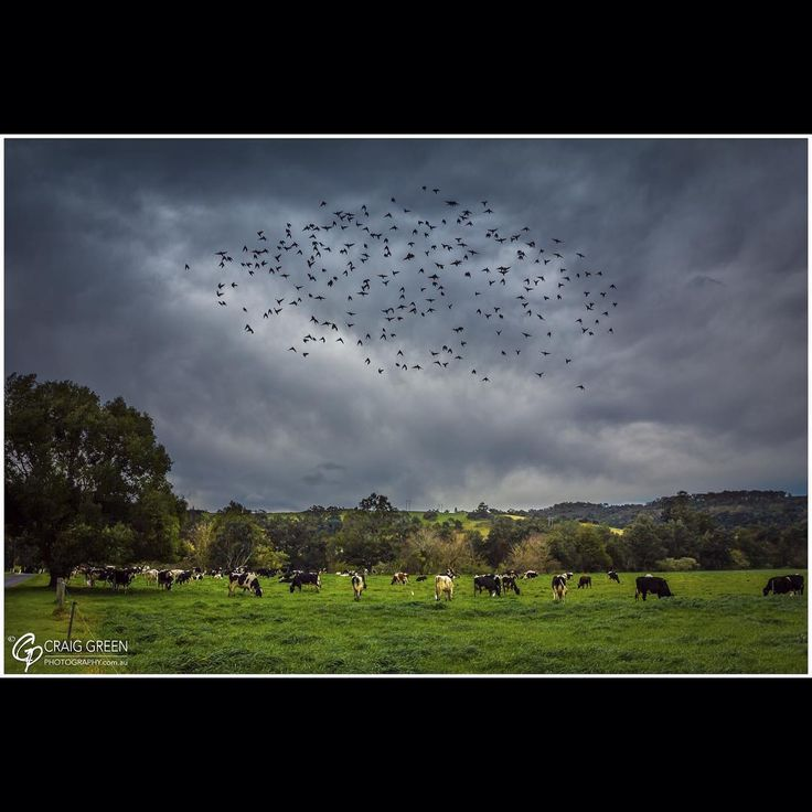 The Birds!…. an homage to Alfred Hitchcock! / Jamberoo, NSW, Oz  Out shooting some rural scenes when this swarm of birds appeared and circled around! Could not help but think of the great Alfred Hitchcock! :) fb:craiggreenphotography  #jamberoo #photography #landscape #craiggreenphotography #hitchcock #rural