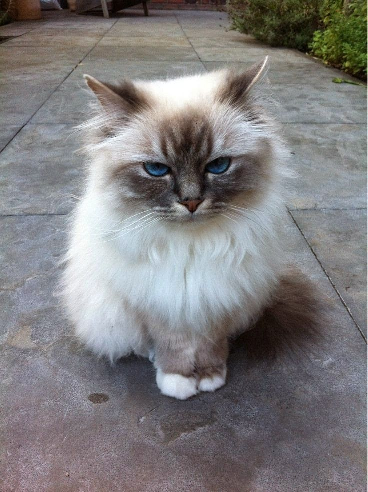 ༺ Lovely Pet's ༻: Top 5 Most Popular Cat Breeds