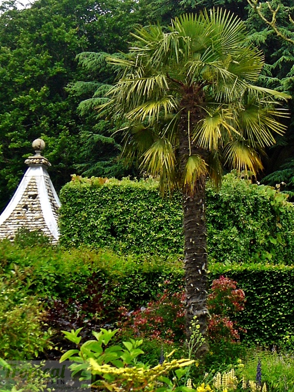 A famous Trachycarpus ... this Trachycarpus fortunei at Hidcote Manor Garden in Gloucestershire is perhaps one of the most famous and instantly recognisable in UK gardens...