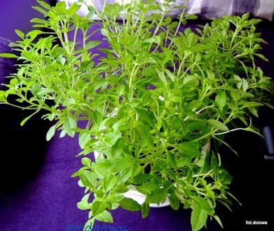 Moje Małe Czarowanie: Bazylia pospolita - Ocimum basilicum