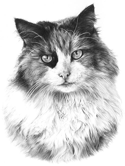Tutorials Art Drawing | My drawing of our Clarrie produced for Burns Pet Foods cat food ...
