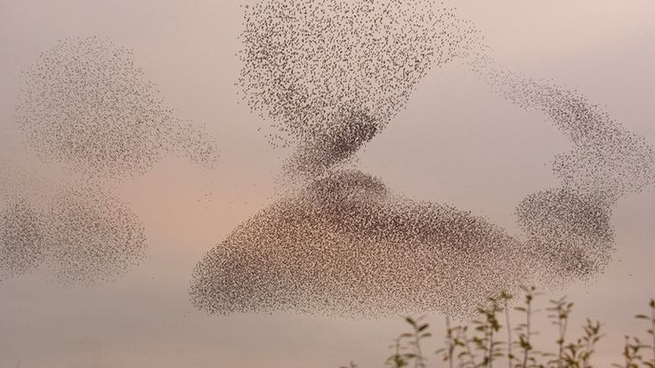 Murmuration exaltation: a starling flock forms a fantastic acrobatic mass before roosting