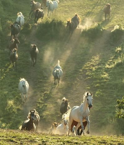 wild horses....The Black Hills Wild Horse Sanctuary in South Dakota is a great place to see these majestic animals...<3