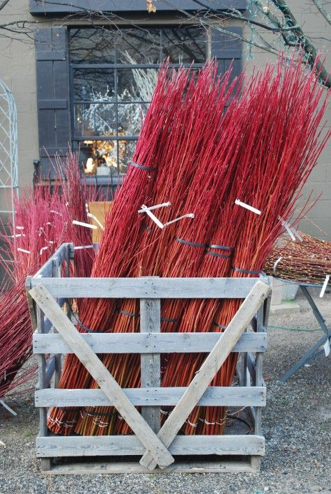 """Red twig dogwood. With bark ranging in color from pink-coral to coral, orange red, fire engine scarlet red, and maroon.  This cultivar, aptly named """"Cardinal""""  is the brightest red bark I have ever seen.Engineering Scarlet, Brightest Red, Orange Red, Dogwood Centerpieces, Centerpieces Fall, Google Search, Bark Range, Twig, Fire Engineering"""