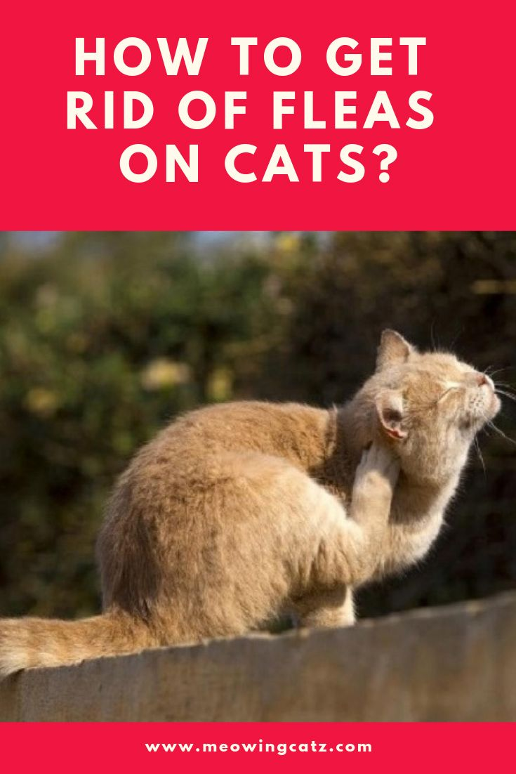 How To Get Rid Of Fleas On Cats Cat Fleas Cats Fleas
