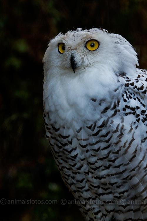 Coruja das Neves   Fotos de Aves Nocturnas - Foto 7110