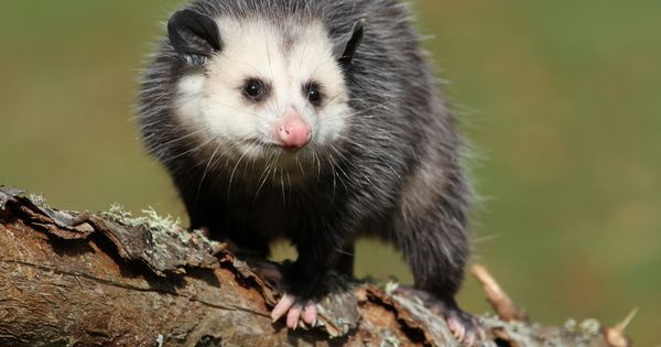 11 Things You Didn T Know About Opossums Opossum Animals Awesome