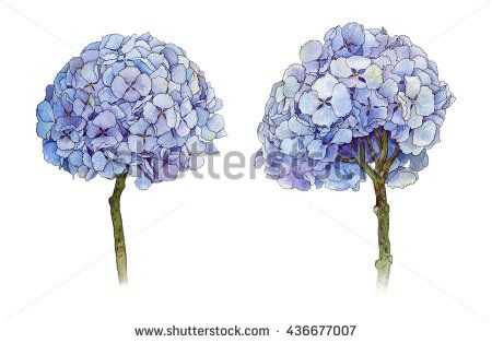 Hydrangea - hand-drawn watercolor illustration of hydrangea, botanical art, isolated on white