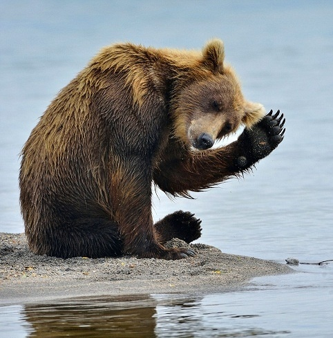 Grizzly Bear | Cute animals | Pinterest | Waving bear ... Cute Grizzly Bear Waving