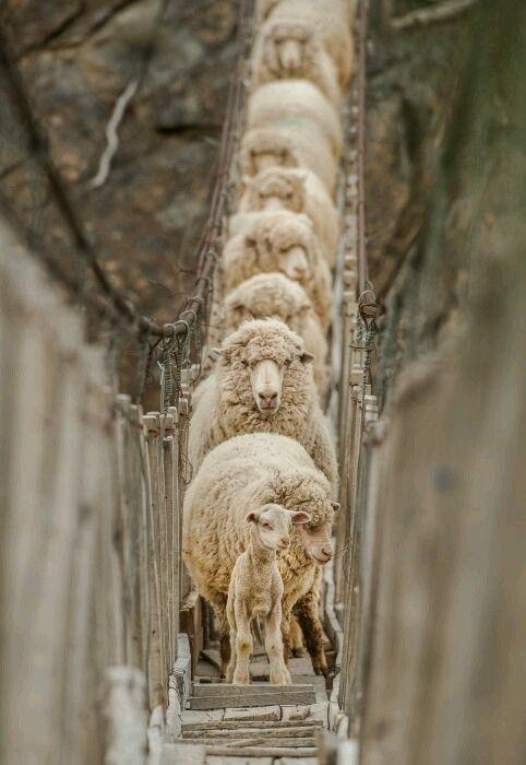 "Sheepies """