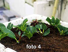 how to grow rhododendrons from cuttings