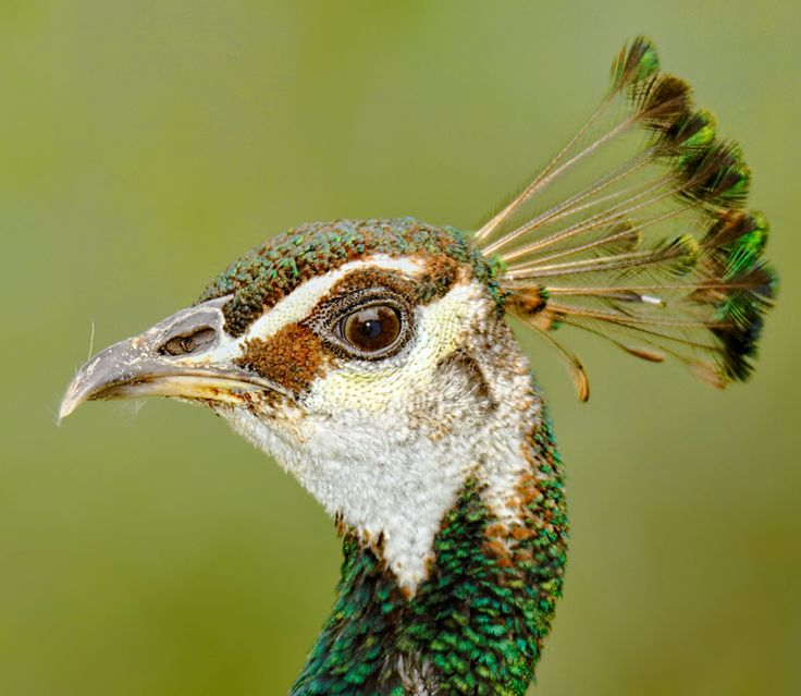 Female Indian Peafowl, Peahen (Pavo cristatus)