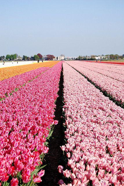 Tulip Fields, The Netherlands. Photo: Chef Gaby, via Flickr