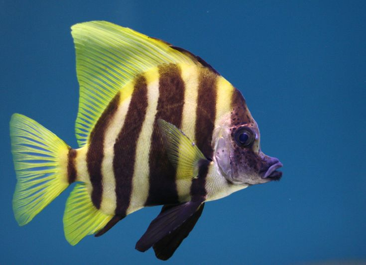 Cute yellow & black stripped tropical fish