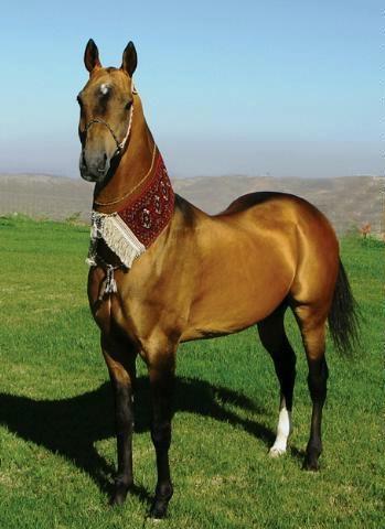 The Akhal Teke, the true gold horse.