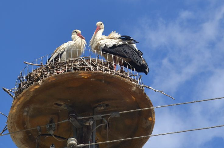 A couple of white storks(ciconia ciconia) in their nests