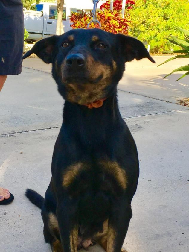 11/03/16 - Macey Dog • Rottweiler Mix • Young • Female • Medium Dr. Dolittle's Rescue Ranch Mcallen, TX