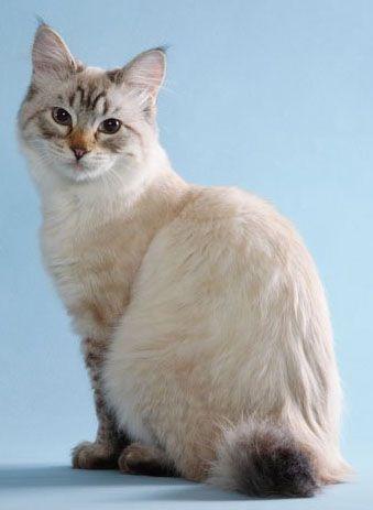 American bobtail cat, se parece mucho a mi niña zimba....
