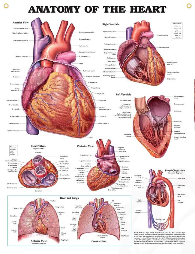 Anatomy of The Heart anatomy poster shows anterior, posterior and superior views of the heart with ventricles.