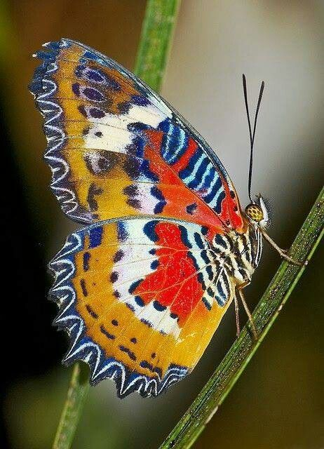 The Malay Lacewing Butterfly~beautiful!