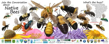 """Native Bees"" Poster. 1. Macropis nuda. 2. Agapostemon texanus. US sweat bee 3. Peponapis pruinosa. Squash and gourd bees 4. Bombus impatiens. The Impatient Bumble Bee 5. Osmia lignaria. The Blue Orchard Bee 6. Hylaeus sp. 7. Habropoda laboriosa. The Southeastern Blueberry Bee 8. Xylocopa varipuncta. The Valley Carpenter Bee 9. Bombus morrisoni. Morisson's bumble bee 10. Perdita minima. 11. Xylocopa virginica. Eastern Carpenter Bee 12. Bombus vosnessenskii. 13. Bombus affinis. 14. Megachile…"