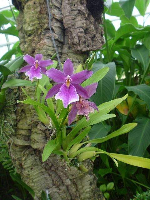 Miltonia orchid, Everglades room by poetrix, via Flickr