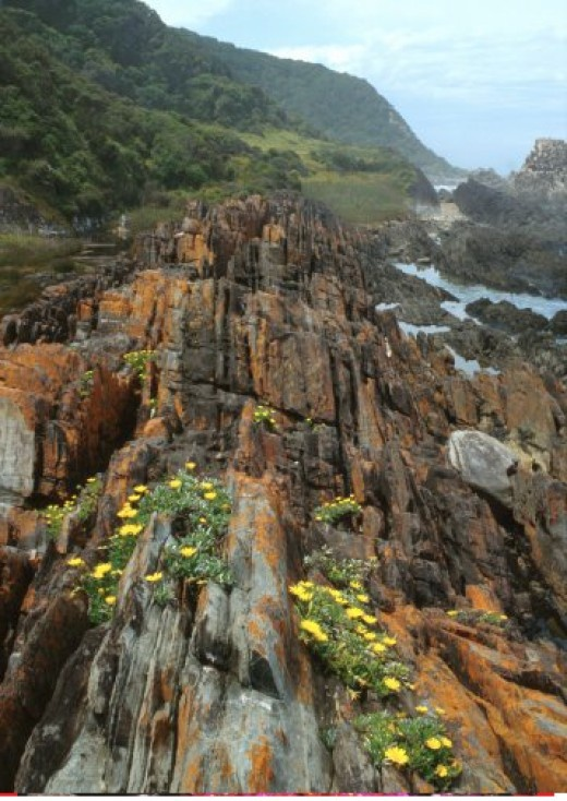 The Garden Route. Garden Route Gazania rigens on the coastal rocks, Tsitsikamma National Park, Eastern Cape