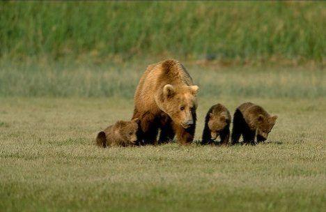 Alaska Brown Bear family