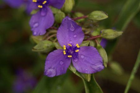 Lila virágok - virág, foilage, makró, növények, kert