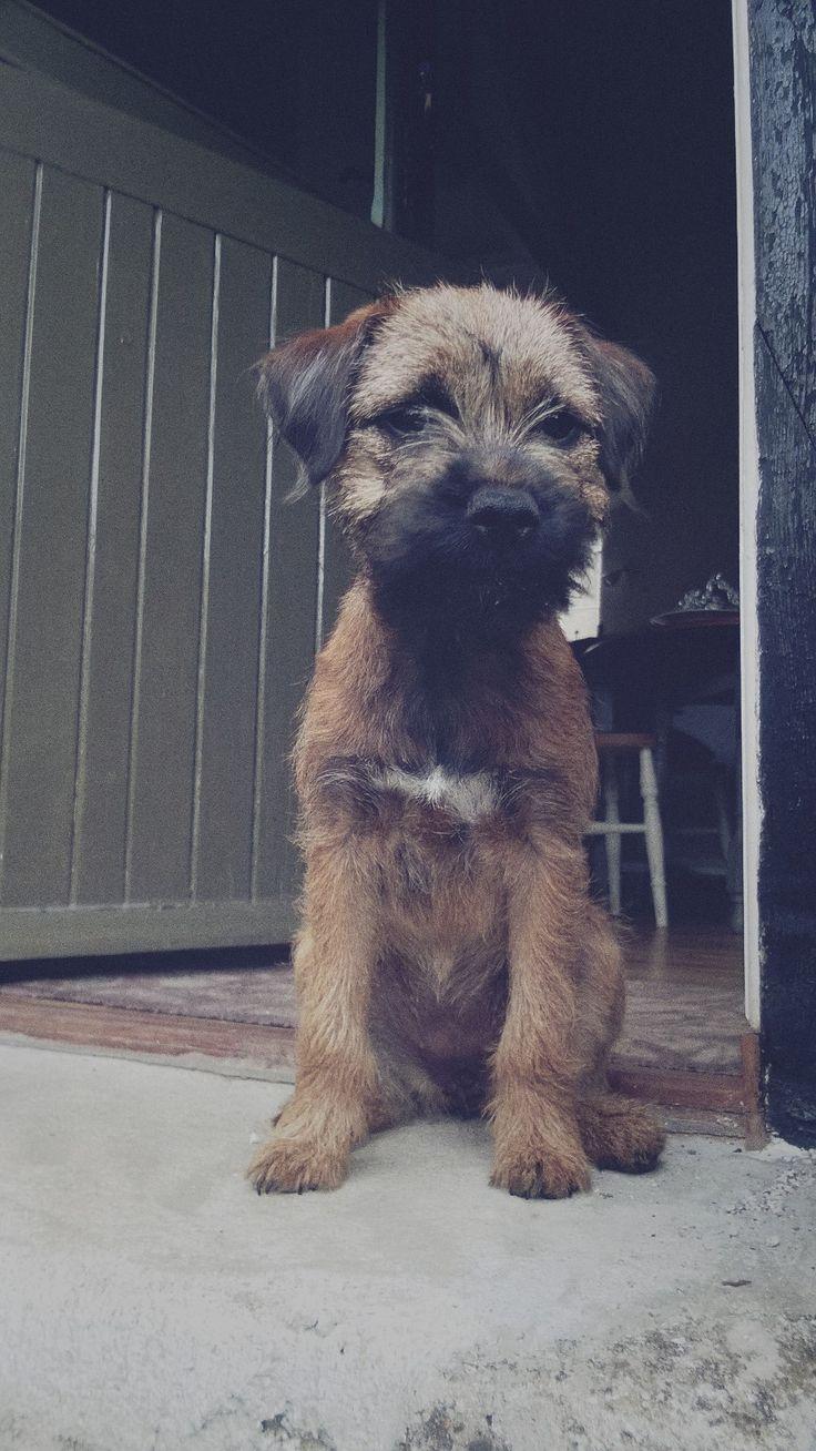 Maggie Border terrier | Pawshake                              …