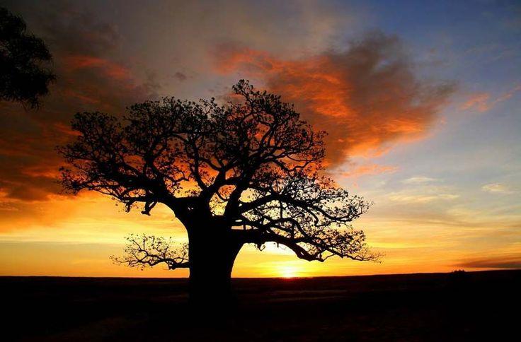 #Boab Tree Kimberly Australia
