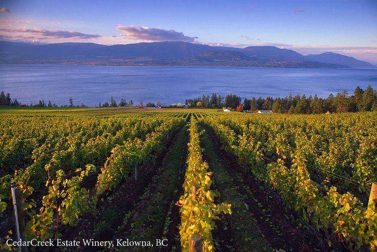 The vineyard at CedarCreek Estate Winery in Kelowna, B.C.   #Vineyard #ExploreBC #ExploreKelowna #ExploreCanada #Winery #WIne #Okanagan #BCVQA