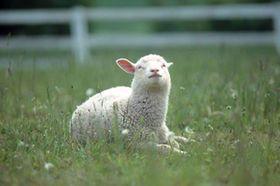 最高に癒やされる!かわい過ぎる羊の写真 【2015年はひつじ年】 - NAVER まとめ
