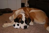 This big girl is a one year old Short Haired St. Bernard in a rare peaceful moment!