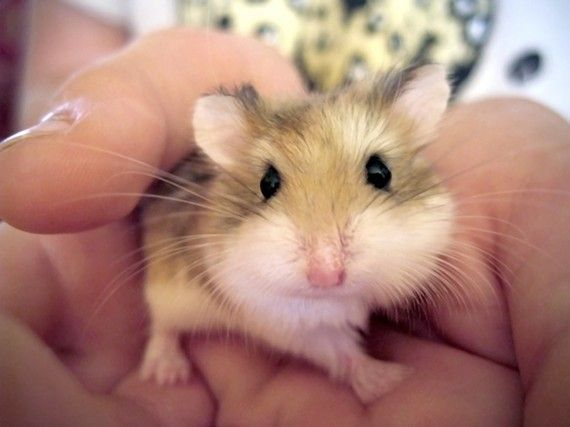 Dwarf Hamster 7 x 5 Print Pet Animal Tiny Small by glennisphotos, $20.00