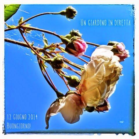 in diretta dal giardino: Rosa Aimée Vibert ( Vibert 1828 ) http://giardinoindiretta.blogspot.it/2014/06/in-diretta-dal-giardino-buongiorno_12.html #giardino #giardinoindiretta #rose #fiori