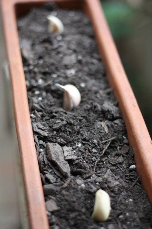 Fall planting of garlic