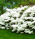 Beautiful!  Delaware Valley White Azalea
