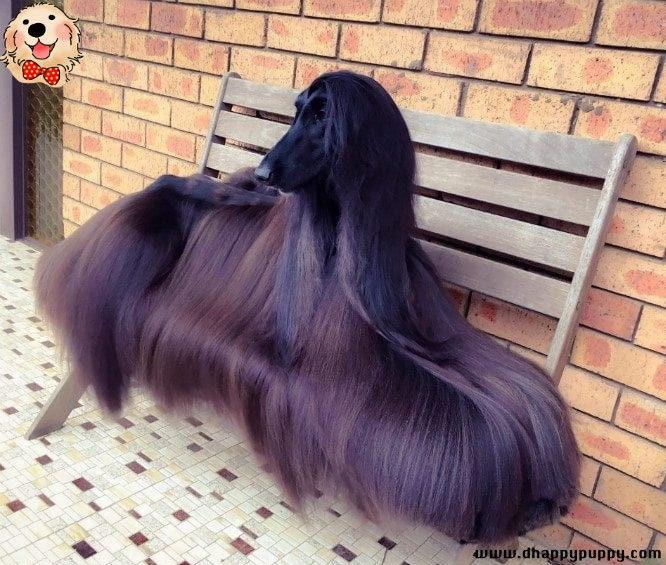 Afghan Hound Dog Hair Dog Style Funny Dog Black Dog Cute Dogs