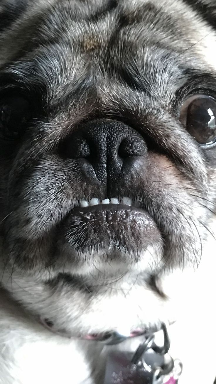 best pets images on pinterest animaux pug dogs and pugs