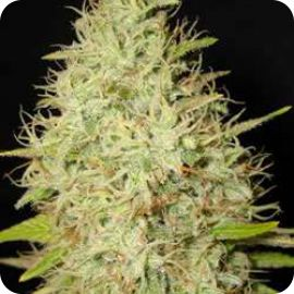 Zensation - strain - Ministry of Cannabis | Cannapedia