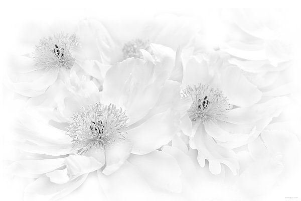 Peony flowers in soft gray tones.  Photography art for your home or office decor.